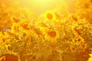 Golden Sunlight With Sunflowers
