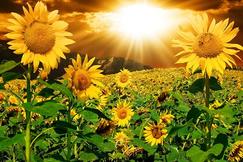 Free Healing Spell - Sunflower Field With Sunshine - Uplifting Free Healing Spells